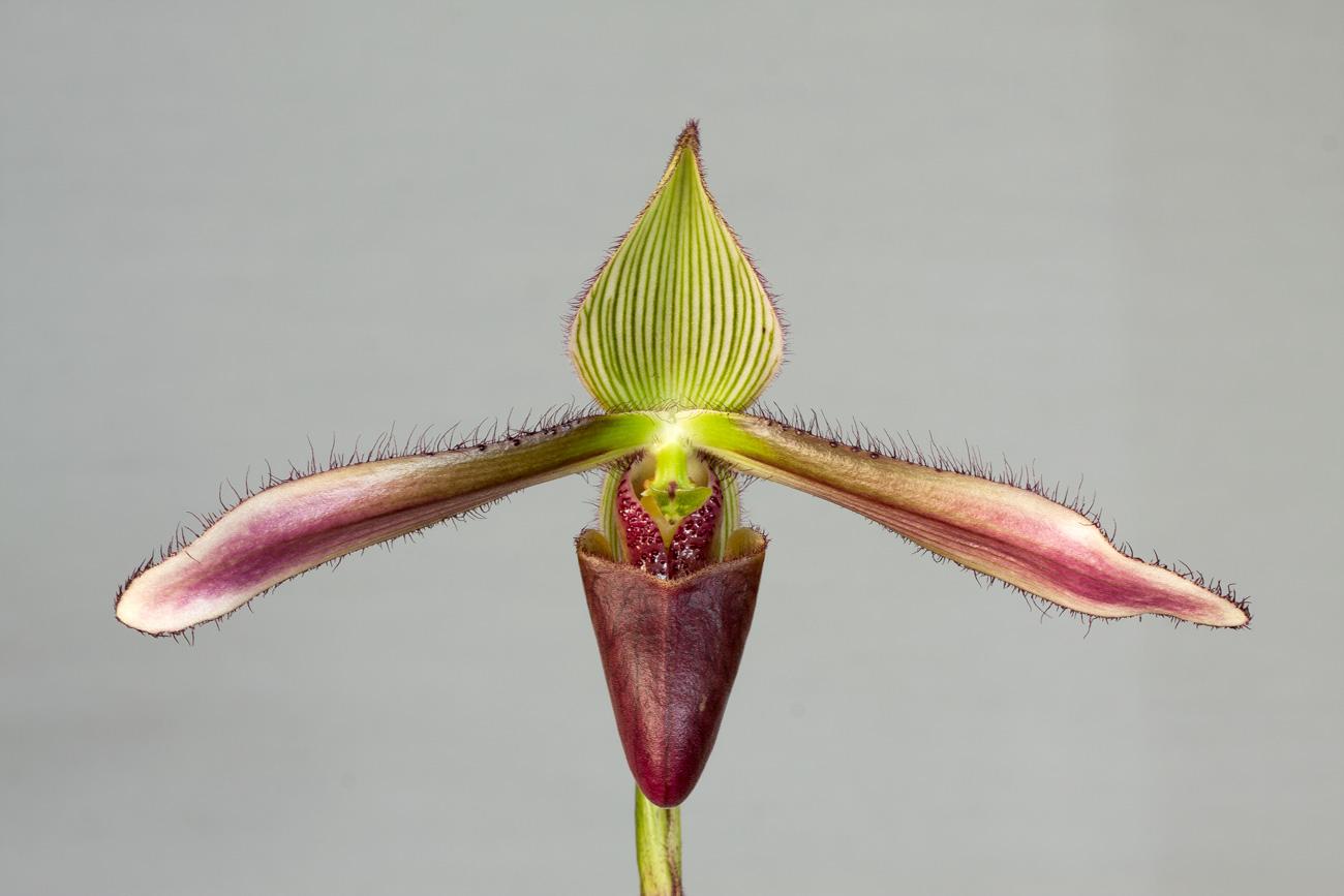 Paphiopedilum Dayanum Slippertalk Orchid Forum The Best Slipper