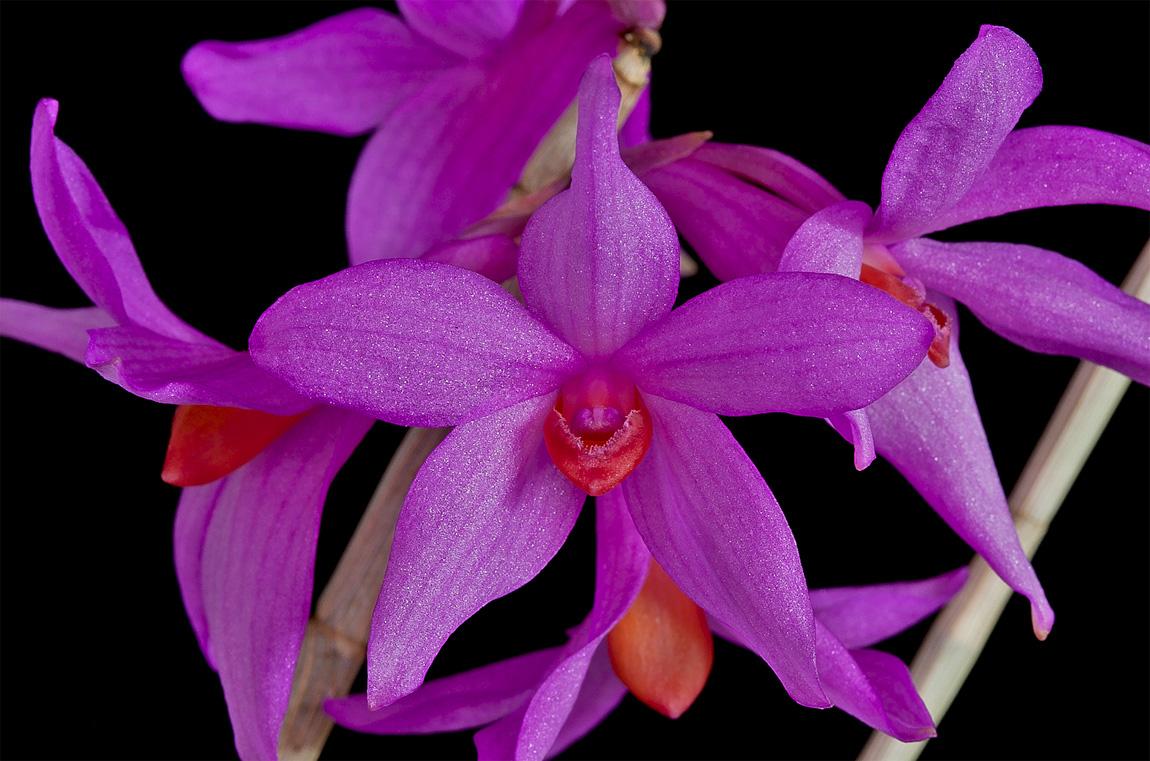 Dendrobium glomeratum Glomeratum