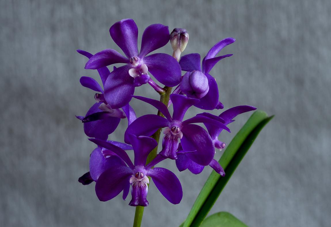 Vascostylis Thai Sky Vascostylis1