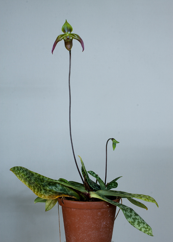 Paphiopedilum appletonianum Cerveranum2