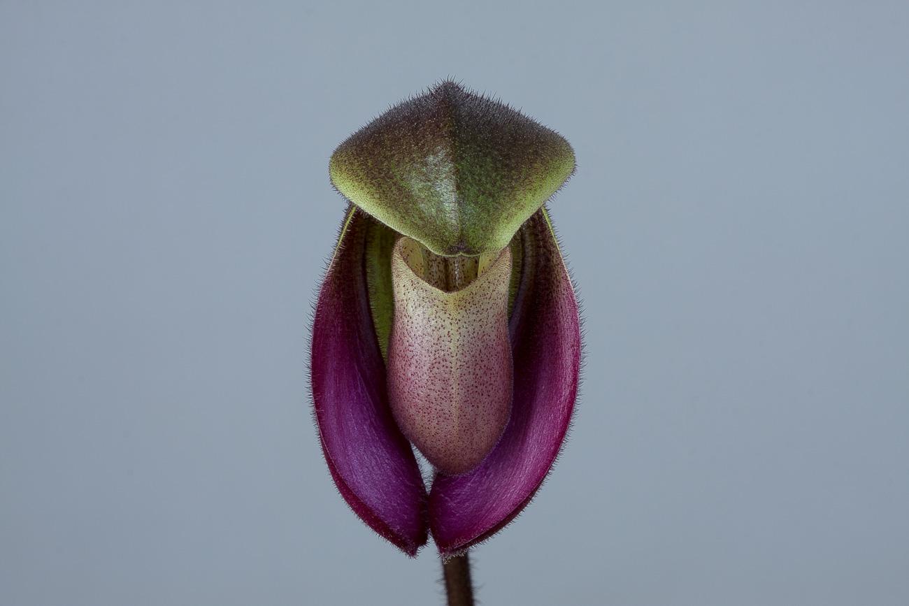 Paphiopedilum hirsutissimum var. esquirolii Esquirolii1