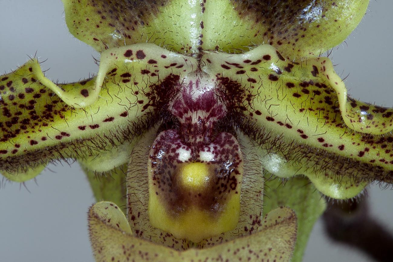 Paphiopedilum hirsutissimum var. esquirolii Esquirolii4