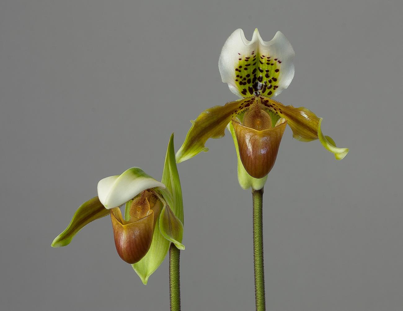 Paphiopedilum exul Exul2
