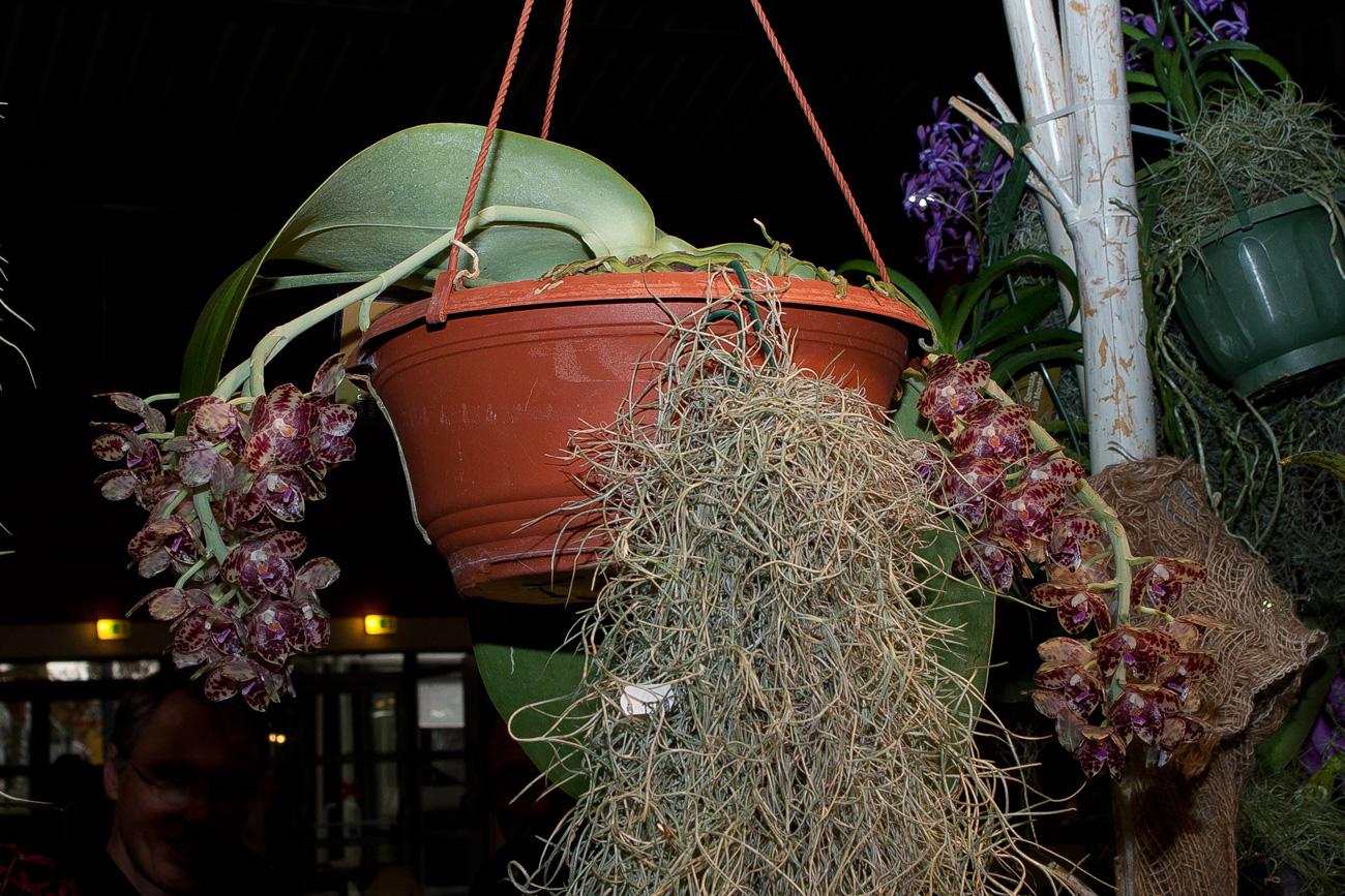 Expo Toulouse....quelques pépites de ce premier jour ! Phalaenopsis_gigantea