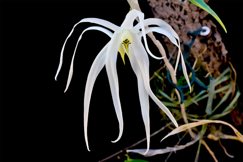 Discussion autour d'un genre : Les Dendrobium Amboinense1