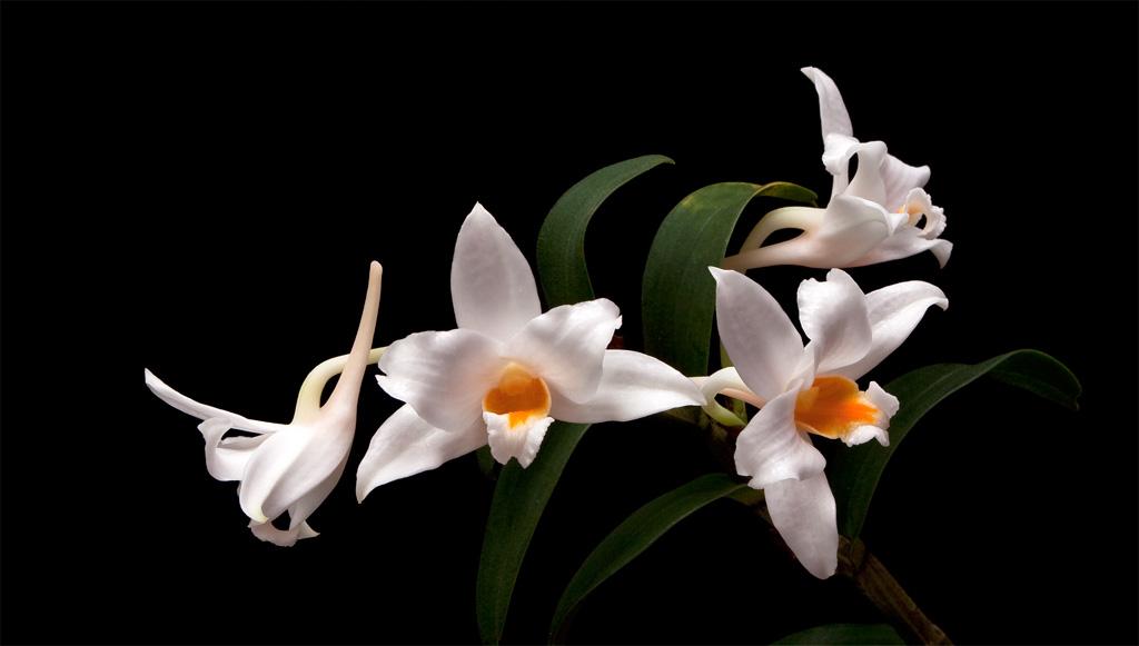 Discussion autour d'un genre : Les Dendrobium Kontumense4