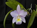 Cattleya Candy Tuft