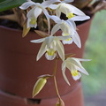 Coelogyne Unchained Melody