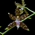 Oncidium hintonii