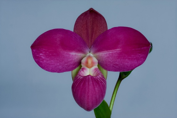 Phragmipedium Glen Decker x kovachii