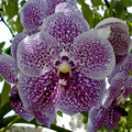 Vanda Robert's Delight 'Blue'