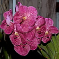 Vanda Robert's Delight 'Red'