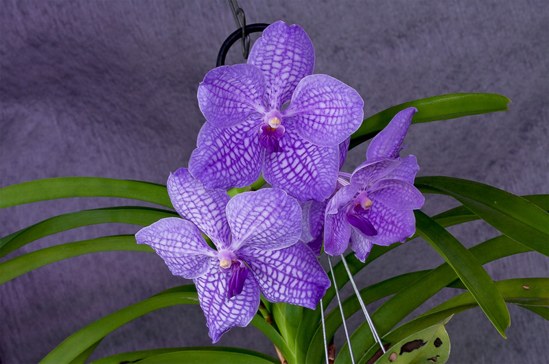 Vanda Gordon Dillon x Bangkok 'blue'